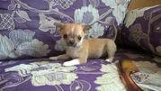 Чихуахуа  щенки  лиловые,  светло-голубого,  соболино-шоколадные,  тигров