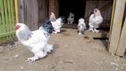 Продаю племенных петухов породы Брама светлая (колумбийский окрас)