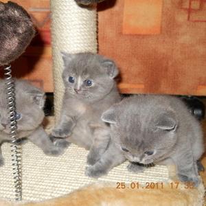 Продаются британские короткошерстные котята