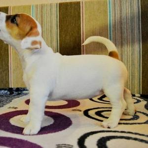 Продам породных щенков Джек Рассел терьера