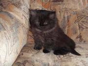 Британские читопородные котята разного окраса продаются